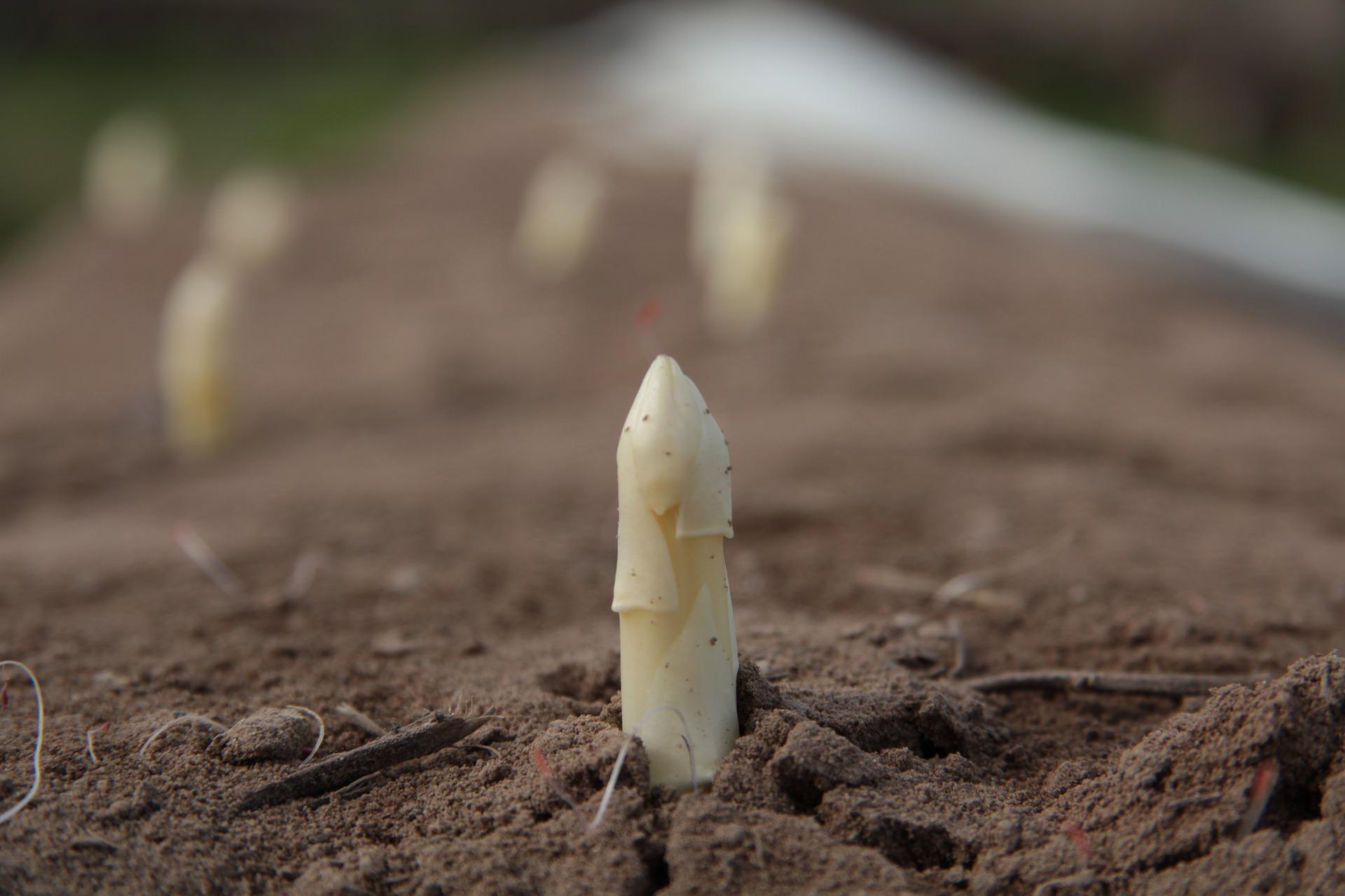asparagus-4126932_1920