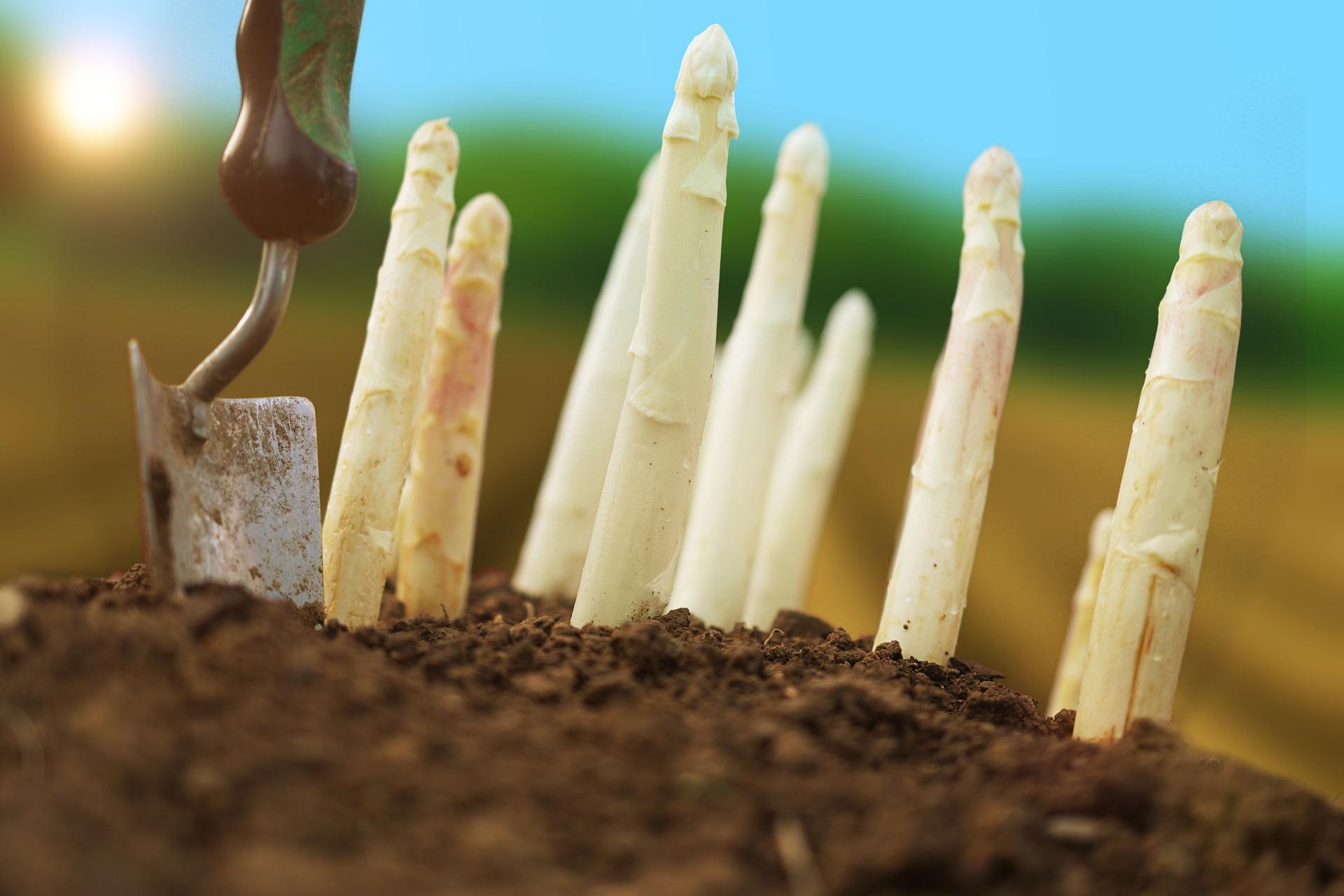 asparagus-5167019_1920
