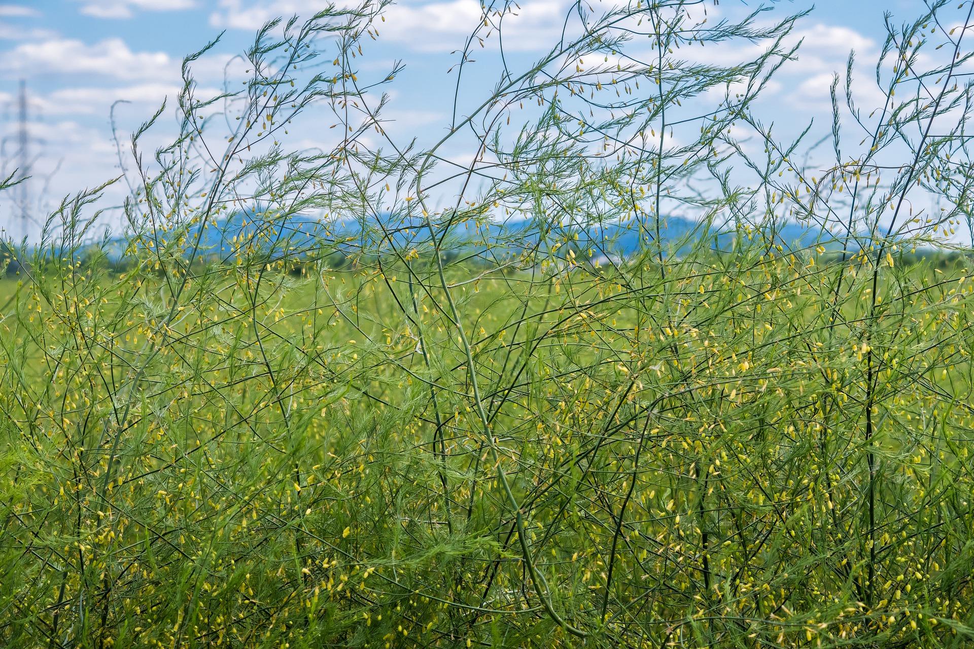 asparagus-plant-5242166_1920